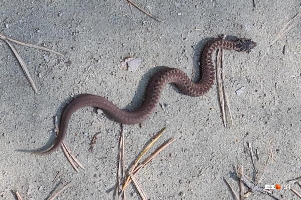 Горожане заметили, что этой весной змей больше, чем обычно