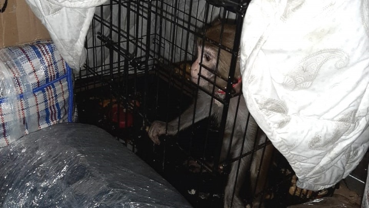 Ехала в Махачкалу без документов: в Волгограде полицейские спасли юную обезьянку из багажника автобуса