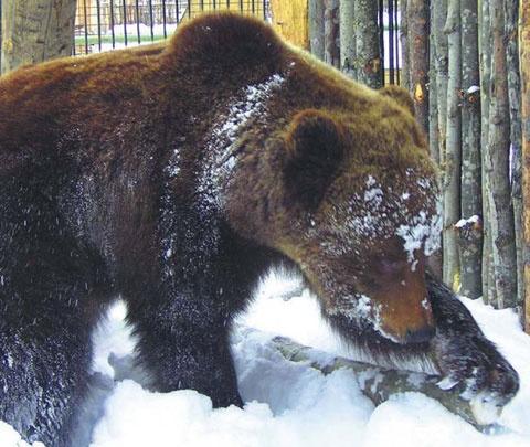 В ХМАО проснулся самый знаменитый медведь. Посмотрите, какой он сонный на видео