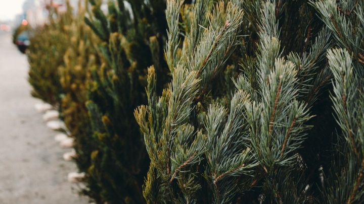 Куда деть елку после Нового года? Список мест, где принимают «отработанные» хвойные деревья в Тюмени