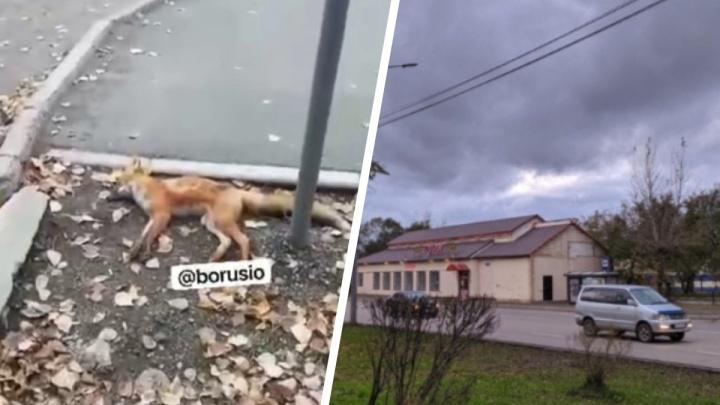 Вторую мертвую лису нашли в Красноярске, на этот раз в спальном районе