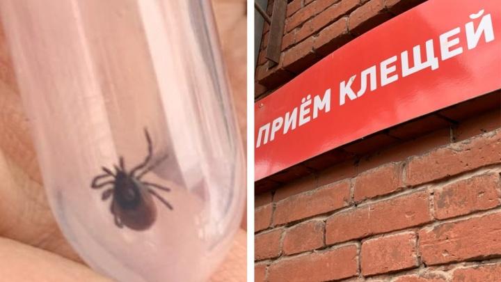 Треть заражена инфекциями: в Ярославской области клещи покусали более 6 тысяч человек