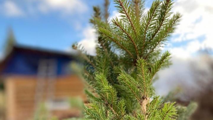 Участок будет зеленым круглый год: простые советы, как правильно сажать пихту, сосну и можжевельник