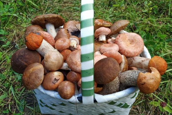 А вам часто удавалось за один заход набрать целую корзину грибов?
