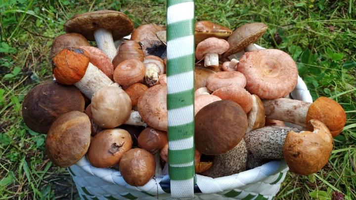 Одинокие волнушки, ведра маслят: смотрим, какие еще грибы собирают жители Архангельской области