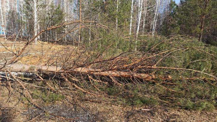 Незаконно вырубленные деревья в «Парковом» пытались поджечь ночью