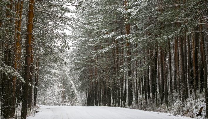 В Красноярском крае поймали банду «черных лесорубов», уничтоживших леса на35млн рублей