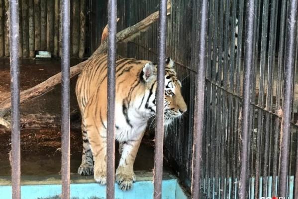 Тигрица была одним из обитателей мини-зоопарка при турбазе