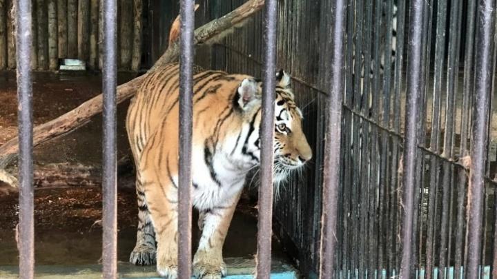 Прокуратура: на самарской турбазе посетителей незаконно развлекали тигрица и медведь