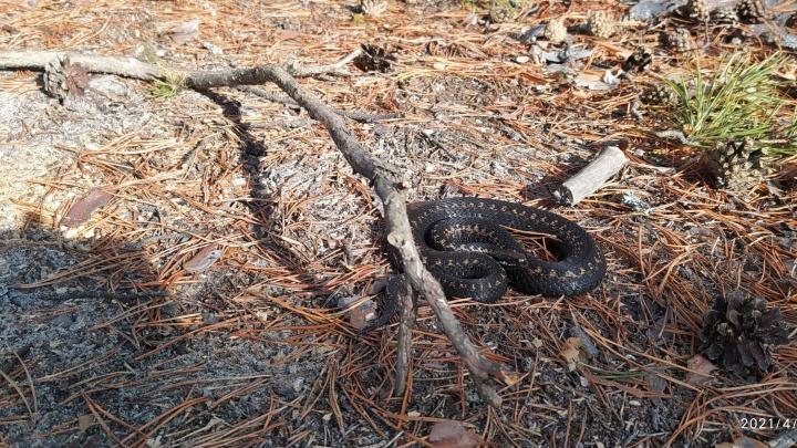 В ХМАО на месяц раньше проснулись гадюки. Но змея на этом видео кажется очень сонной