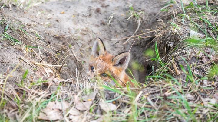 Красноярец объявил награду в 30 тысяч за информацию об убийцах двух лисиц