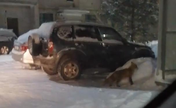 Котлашанин снял на видео лису, гуляющую во дворе дома