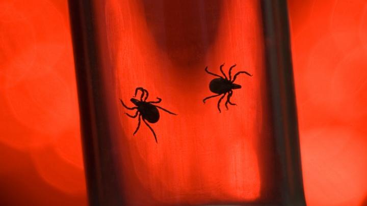 Клещи атакуют взрослых и детей в «Зеленой Роще» и «Солнечном»