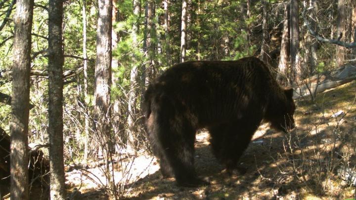 Медведи на «Столбах» вышли из спячки и очень агрессивны