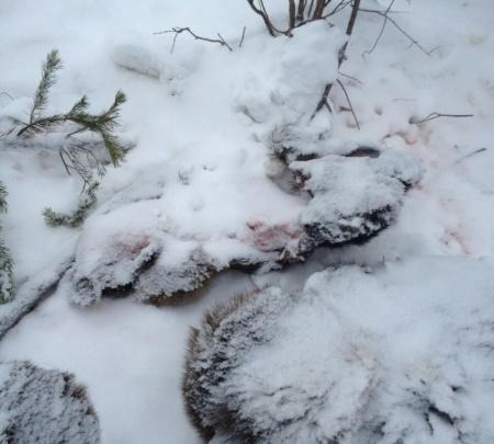 Жителю Богучан грозит 200 тысяч штрафа за расчлененного лося