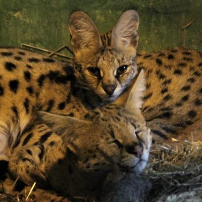 Внижегородском зоопарке родились детеныши яка, лемура иальпака