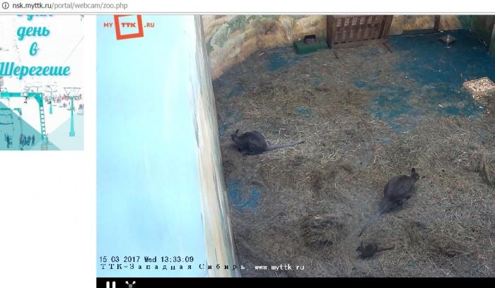 Пока веб-камера поймала только одного кенгуренка, второй сидит в материнской сумке