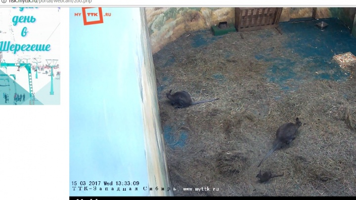 Новорожденный кенгуренок попался в объектив веб-камеры зоопарка