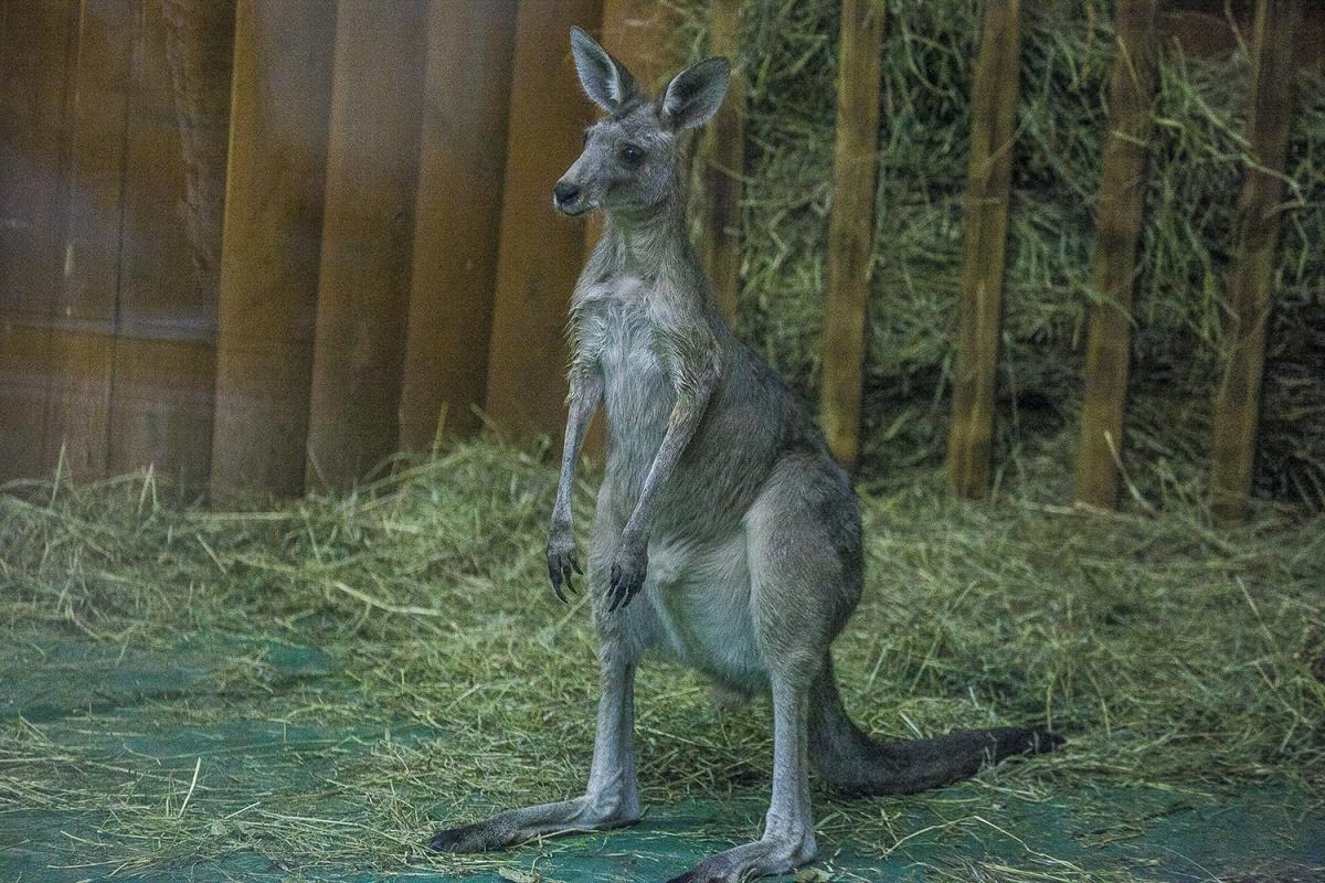 Кенгуру исервалы родились вНовосибирском зоопарке