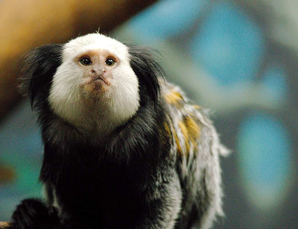 Взоопарке узолотистых обезьянок родились небольшие дети