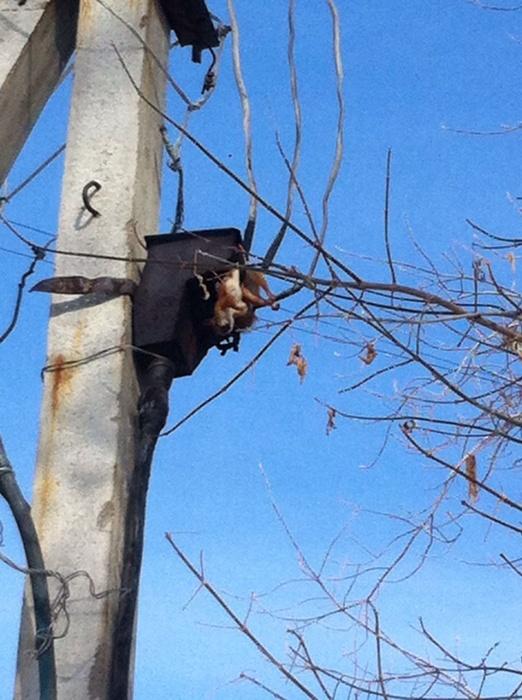 Погибшее животное висело на проводах два дня. Фото  очевидцев