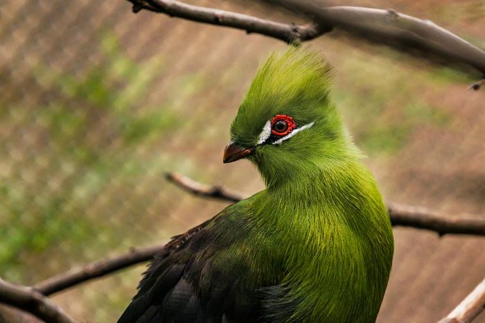 Турако гвинейский