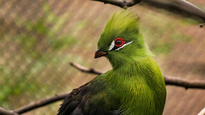 В Новосибирском зоопарке поселились 8 пугливых птиц с хохолком на голове