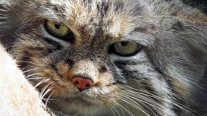 Молодые угрюмые коты из зоопарка начали эмигрировать в Европу
