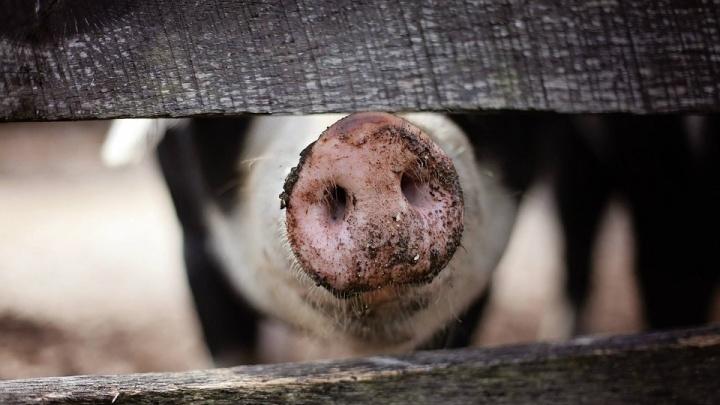 Новосибирцев предупредили об африканской чуме свиней