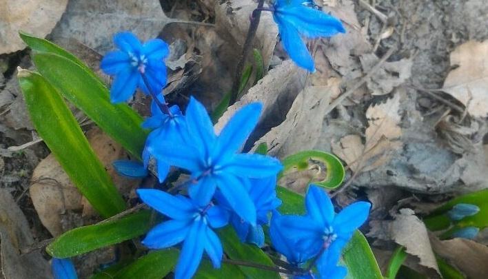 Новосибирец обнаружил на Затулинке цветущую сциллу