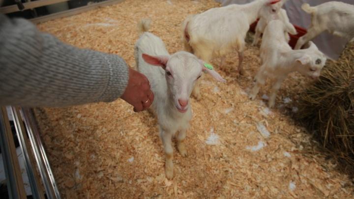 Настоящее фермерское подворье развернется на ярмарке «Осень на даче»