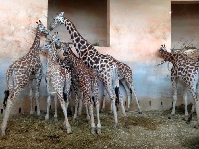 Содержать жирафов в Новосибирске оказалось дорого