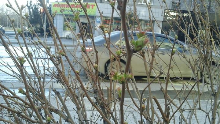 В Новосибирске зазеленели первые листья