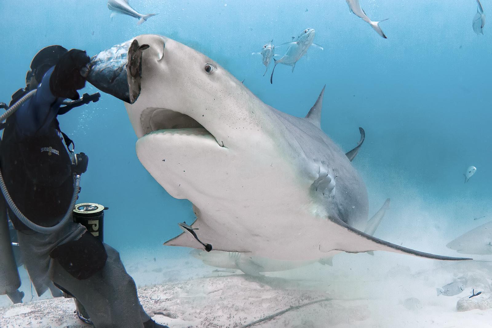 Акулы в основном нападают на серферов, потому что они похожи на тюленей