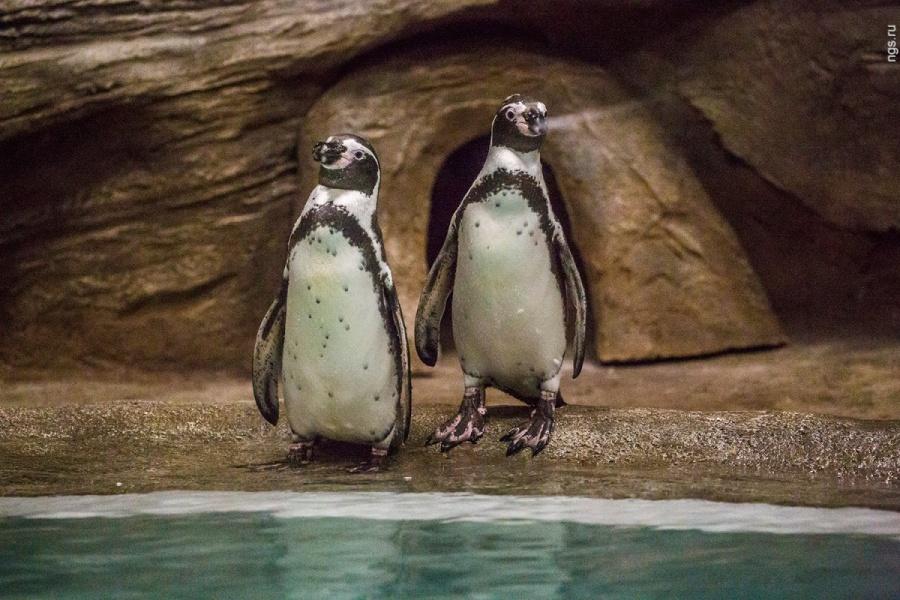 Новосибирцев приглашают напоказательные питания  пингвинов