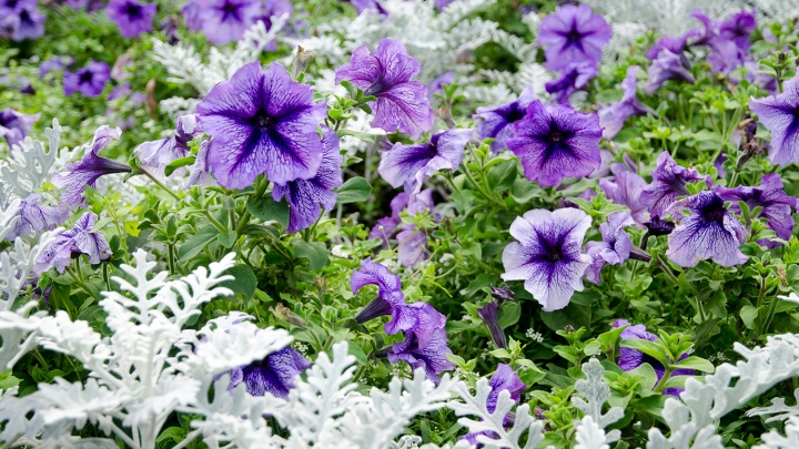 Новосибирск купил 700 тысяч цветов для летних клумб