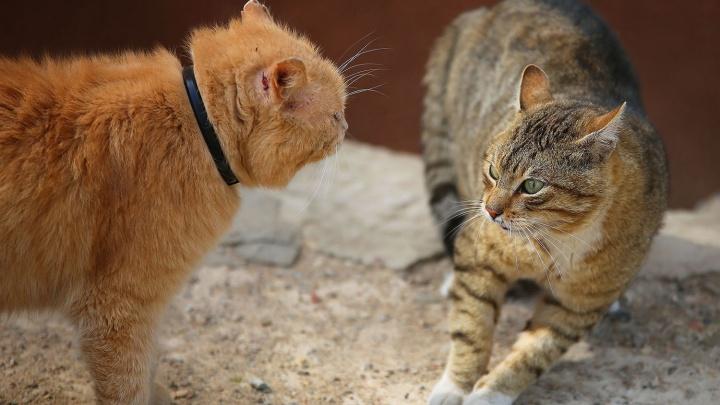 В Новосибирске начался сезон орущих мартовских котов