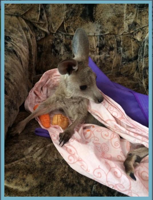 Детеныш кенгуру в новосибирском зоопарке