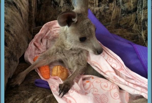 В Новосибирском зоопарке детеныш кенгуру раньше времени покинул сумку матери (фото)