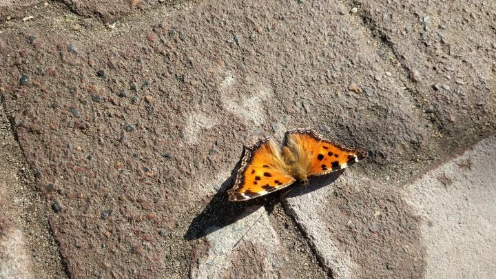 В Новосибирске проснулись бабочки