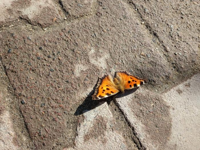 Крапивница —первая бабочка, которую можно увидеть в Новосибирске