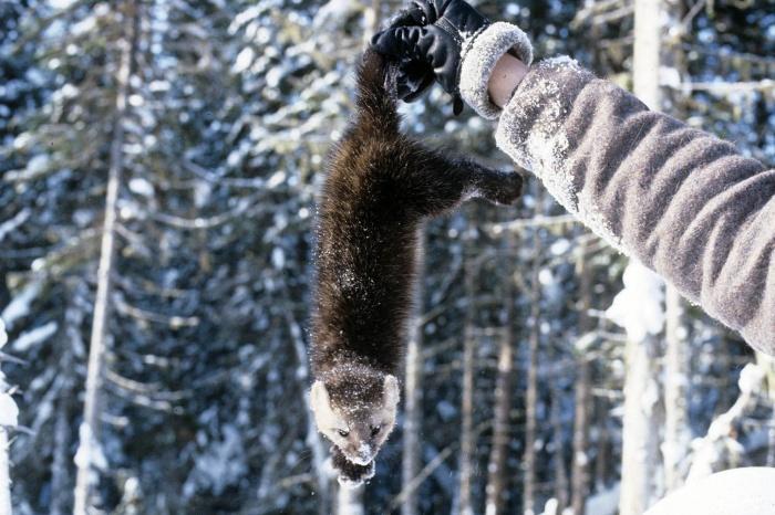 Новосибирские ученые решили сделать соболя домашним животным