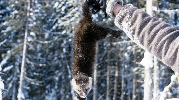 Новосибирские генетики начали делать из соболя домашнее животное
