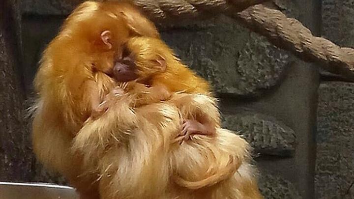 В зоопарке у золотистых обезьянок родились крошечные малыши