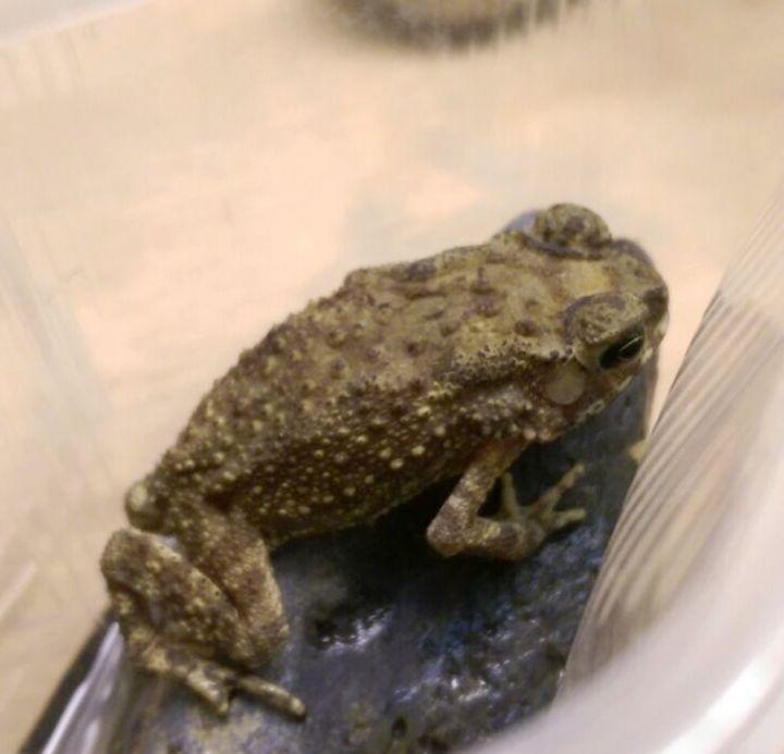 Чернорубцовая жаба пережила перелет вбагаже и угодила взоопарк