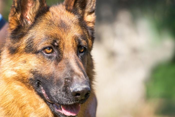 Хозяин собак утверждает, что его овчарки не могли напасть на прохожего