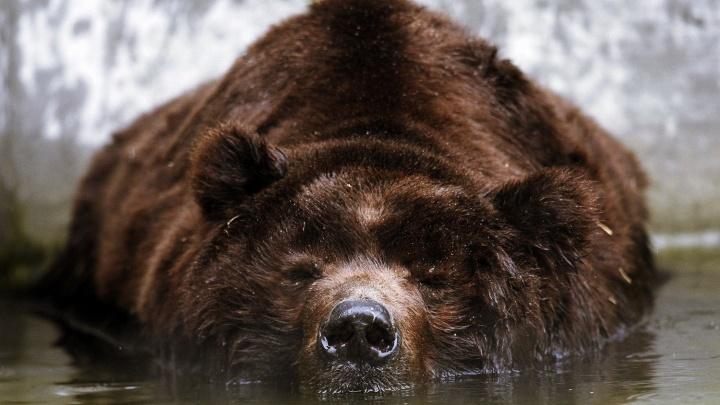 Сибирский ресторатор научил мишленовских шеф-поваров ходить на медведя