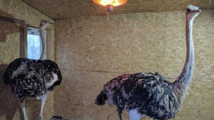 В контактном зоопарке начали выпускать страусов