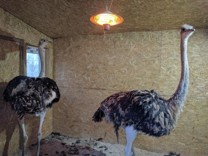 В контактном зоопарке начали выпускать страусов (обновлено)