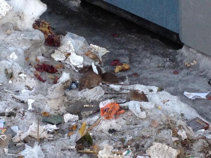 Новосибирцы стали свидетелями нашествия крыс на «Золотой Ниве» (видео)